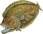 Almost Alive Realistic Flounder Angled Vinyl Decal - Car Home Truck SUV Boat RV