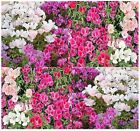 CLARKIA GODETIA COLORFUL TALL MIX Flower Seeds red, pink, purple, white