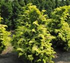 Crippsii Golden Hinoki Cypress - Live Plant - Trade Gallon Pot