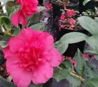 Alabama Beauty Camellia - Live Plant - Full Gallon Pot