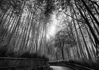 Bamboo Forrest Beautiful Landscape Poster Art Print Black & White