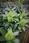 Skimmia japonica Kew Green 20% off 3 or more. See Promotions Box.