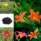 100pcs Daylilies Hemerocallis Lily Seeds Potted Bonsai Flower Seeds Home OK