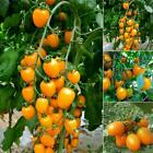 20PCS Rare Golden Cherry Tomatoes Seeds Yellow Tomato Seed Garden LM 02
