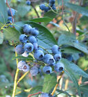 Highbush Blueberry, Vaccinium corymbosum, Seeds (Edible, Fall Color, Hardy)