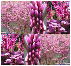 BULK Chinese Redbud Tree Seeds - Cercis chinensis - PURPLISH ROSE PURPLE FLOWERS