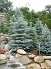 Colorado Blue Spruce, Picea pungens glauca, Tree Seeds (Hardy Evergreen)