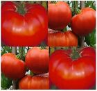 DELICIOUS Tomato seeds - HEIRLOOM - 16 oz HUGE FRUITS - CONTINUOUS Harvest - 75