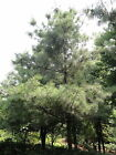 Chinese White Pine Tree Seeds,  Pinus armandi,  Bonsai Tree Seeds