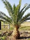 9GreenBox - Canary Island Date Palm 15 Seeds Phoenix Rare Hard to Find