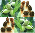 Butternut AKA White Walnut, Juglans cinerea TREE SEEDS - Sweet Tasting Nuts