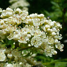 Crataegus Monogyna Hawthorn Quickthorn May Bare Root Hedging Plants 125-150cm