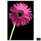 Floral Gerbera Flowers   BOX FRAMED CANVAS ART Picture HDR 280gsm