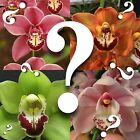 Cymbidium__MYSTERY ORCHID__no ID unknown hybrid BLOOMING SIZE SURPRISE EZ HARDY cheap