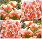CLARKIA GODETIA LIGHT SALMON Flower Seeds - bright colors - Clarkia amoena