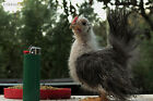 Unusual hatching experts ONLY ~Tribbles~ 12 Silkied Serama Chicken Hatching Eggs