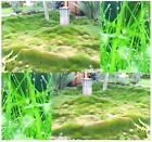 Korean Lawngrass Seed - Zoysia japonica Lawn Grass Seeds - Repels Weeds
