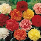 earthessence CARNATION ABSOLUTE ~ CERTIFIED 100% PURE ESSENTIAL OIL Aromatherapy