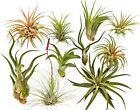 10 Air Plant Tillandsia Variety Pack By Bliss Gardens / Live House Plants
