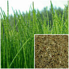Horsetail (shavegrass) organic, soap making supplies, herbal extracts.