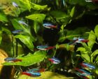 Neon Tetra - Tropical Fish - Hardy and Colourful - Community Fish