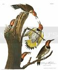 John Audubon-Golden-Winged Woodpecker, Paper Print, Birds Of America