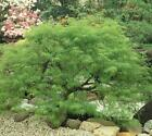 Waterfall Japanese Maple - Live Plant - Trade Gallon Pot
