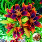 Lily Bulbs, Yellow Red Lily Flowers, Rare Flowers, Bonsai Plant, 4 Bulbs