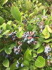 15 Blueberry Plant Seeds -Toggle to See The Varieties