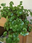 2 Swedish Ivy with roots & without roots ready to plant vine indoor outdoor