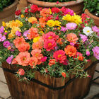 Sun plant flower portulaca Seeds Heirloom Top Quality 太阳花