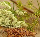 Caraway 100% PURE Essential Oil - multiple sizes