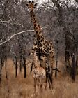 Giraffe And Calf In The Wild WLD018 Reproduction Art Print A4 A3 A2 A1