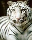 A Photograph Of A Wild White Tiger WLD205 Art Print A4 A3 A2 A1