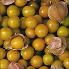Pineapple Tomatillo - Fruits taste just like Pineapple !! Mmmmm...Free Shipping