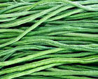 Asparagus Bean Seeds-Bacello- Yard long beans - top-notch red-seeded strain!!!