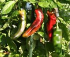 Sonora Anaheim Chili Pepper-very mild, long green-perfect for chiles rellenos!!