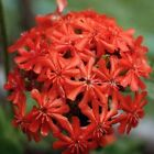 Maltese Cross - Bright red-orange blooms grow in clusters of 20-50!! Beautiful!!