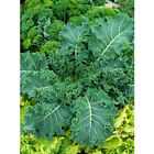 Canola Rape - Kale - Sweet, Tender and Crunchy..Mmmmm...Good!! Free Shipping!