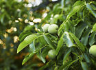 Black Walnut, Juglans nigra (Northern), Tree Seeds Lot(Edible, Hardy, Historic)