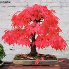 20 Japanese Maple Tree Bonsai Seeds Acer Palmatum Red Blue Purple Green Yellow *
