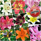 100pcs Rare Asiatic Lily Bulbs Seeds Planting Lilium Perfume Flower Garden HOT