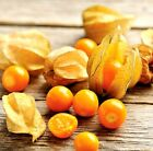 Cape Gooseberry Ground Cherry Seeds hundreds of fruit on each plant