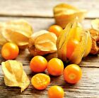 Cape Gooseberry Ground Cherry Seeds - hundreds of fruit on each plant. !!!!