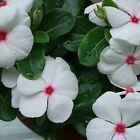Periwinkle Bright Eyes Flower Seeds (Vinca Rosea) 100+Seeds