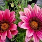 Gazania Kiss Rose Flower Seeds (Gazania Rigens) 10+Seeds