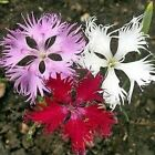 Dianthus Superbus Hybrids Mix Flower Seeds (Dianthus Superbus) 200+Seeds