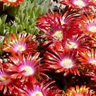 Ice Plant Bright Red Flower Seeds (Dorotheanthus Bellidiformis) 200+Seeds