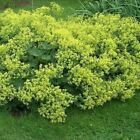 Lady's Mantle Flower Seeds (Achemilla Mollis) 50+Seeds