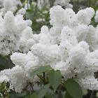 White Japanese Lilac Tree Seeds Clove Flower Seeds Bonsai Flower Seeds FT 02
